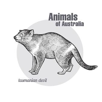 Zwierzęta australii. diabeł tasmański.