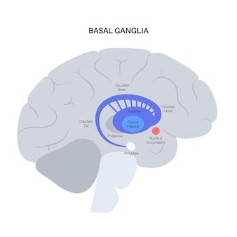 Zwoje podstawy i układ limbiczny. anatomia ludzkiego mózgu. kora mózgowa i wektor móżdżku