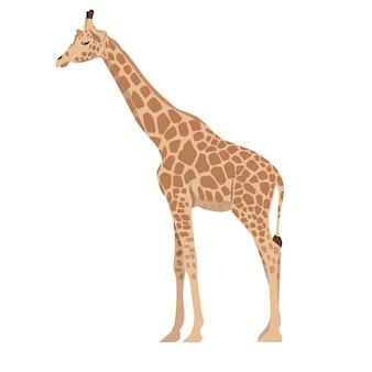 Żyrafa na białym tle.
