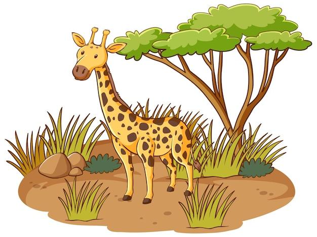 Żyrafa w lesie sawanny na białym tle