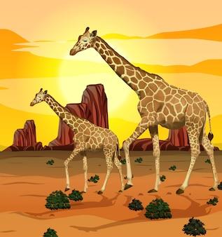 Żyrafa w tle przyrody