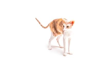 Śliczna cornish rex kota pozycja przeciw białemu tłu