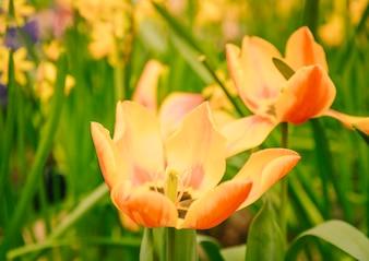Żółte i pomarańczowe piękne tulipany w rozkwicie