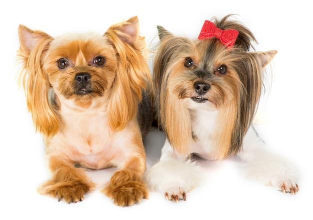 2 yorkshire terrier z modnymi efektownymi fryzurami