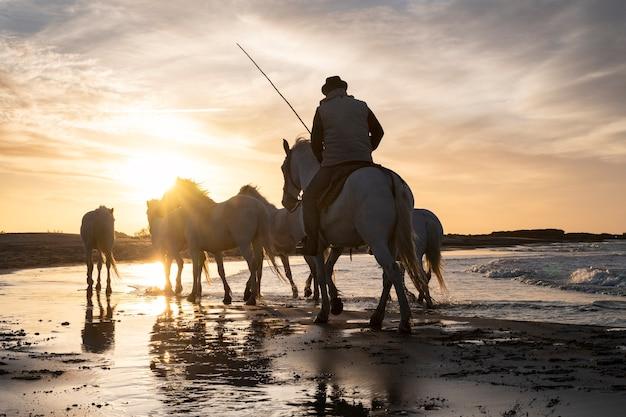 28.04.2019: chevaux blancs camarguais en liberte et leurs gardians sur une plage versus les saintes maries de la mer en france