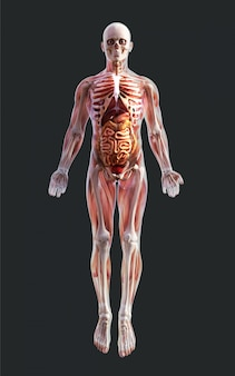 3d ilustracja męskiego układu mięśniowego szkieletu, kości i układu trawiennego ze ścieżką przycinającą