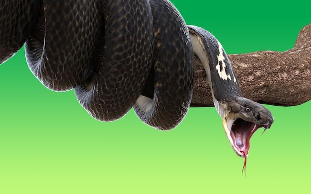 3d królewiątko kobry wąż odizolowywający na zielonym tle