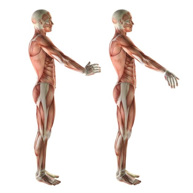 3d medyczny rysunek pokazujący odchylenie promieniowe nadgarstka i odchylenie łokciowe