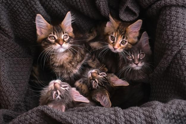 6 wielobarwnych kociąt maine coon w pudełku z szarą kratą patrzą w kamerę, widok z góry
