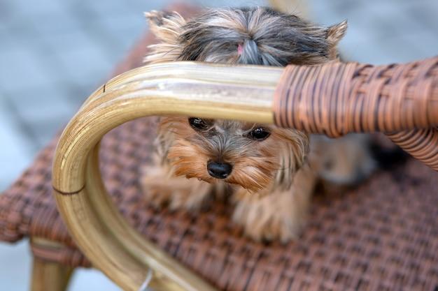 8-miesięczny szczeniak rasy yorkshire terrier mini
