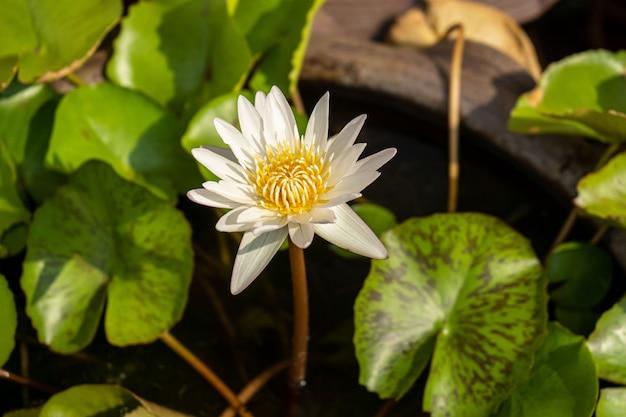 A bliska kwiat lotosu