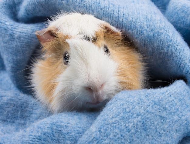 Abisyńska świnka morska ukrywa się w przytulnym niebieskim wełnianym szaliku