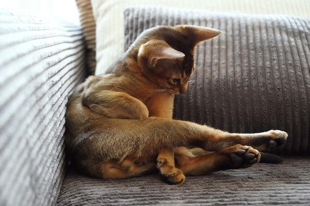 Abisyński kotek leżący na kanapie w salonie bawiący się ogonkiem