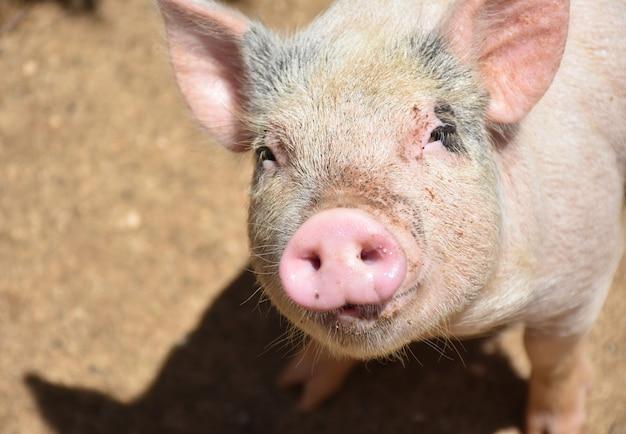 Absolutnie urocza świnia patrząca w górę