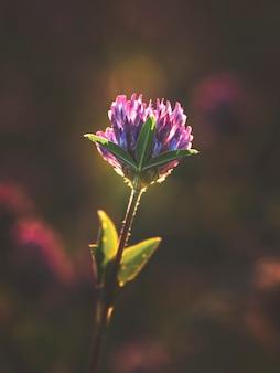 Abstrakcjonistycznego lata naturalny tło z koniczynowym kwiatem. nieostrość