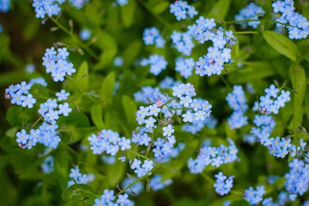 Abstrakcyjna powierzchnia małych niebieskich kwiatów niezapominajka i zielonych liści w lesie