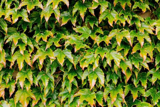 Abstrakcyjna tekstura tła pokrytej bluszczem ściany