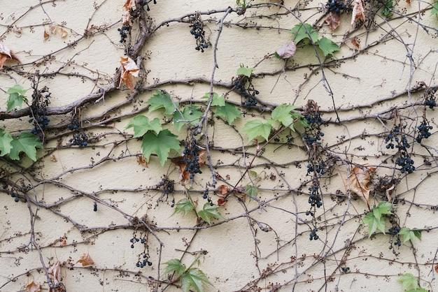 Abstrakcyjne tło naturalne z roślinami pnącymi na ścianie