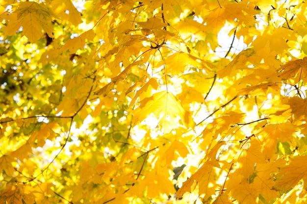 Abstrakcyjne tło patrząc przez kolorowy żółty spadek lub jesienne liście rosnące na drzewie przed słońcem