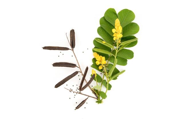 Acapulo lub senna alata, suszone owoce, nasiona, kwiaty i zielone liście na białym tle.