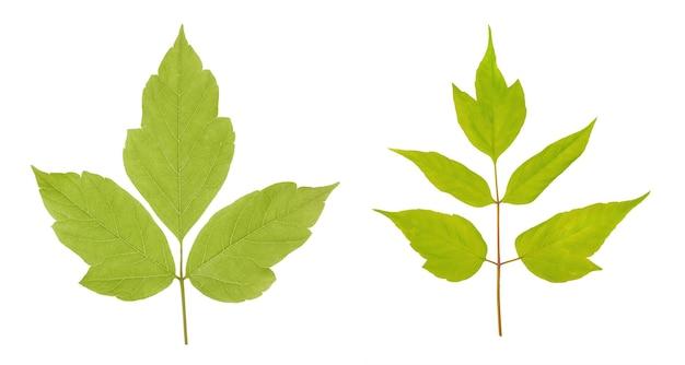 Acer negundo lub amerykański klon liście na białym tle.
