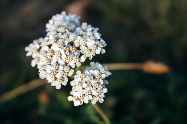 Achillea millefolium - małe białe kwiaty na rozmytym zielonym tle. ziele wieloletnie, rodzina asteraceae, typowe gatunki tego rodzaju. stosowany jako roślina lecznicza, przyprawowa, ozdobna i miodowa