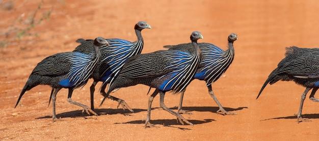 Acryllium vulturinum (perliczka sępowa). park wschodni w tsavo. kenia