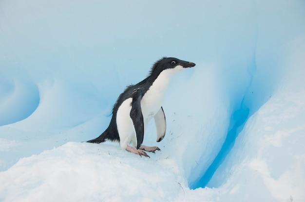 Adelie penguin na śniegu