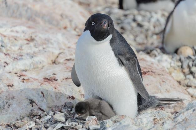Adelie pingwin w gnieździe z kurczakiem