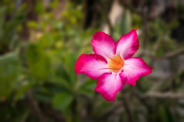 Adenium obesum - czerwony i różowy kwiat
