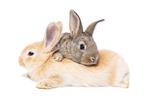 Adorable baby szary królik siedzi na białym tle