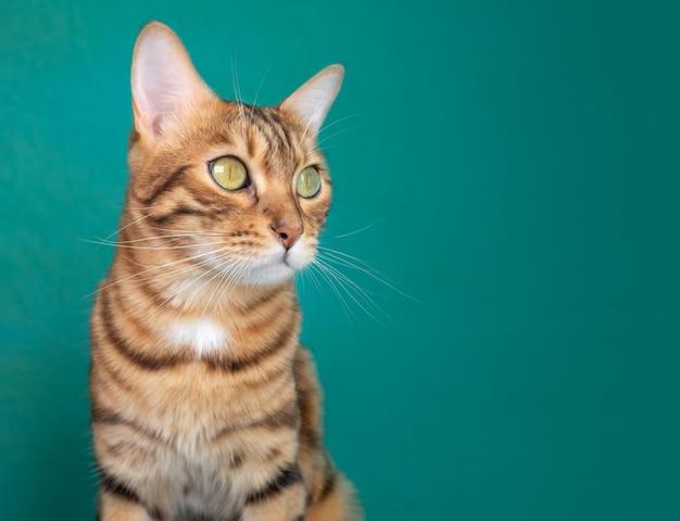 Adorable kot bengalski samodzielnie na zielonej powierzchni z ciekawością wygląda na bok