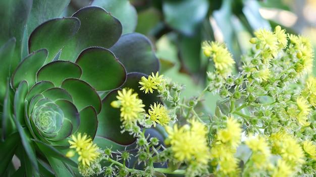 Aeonium arboreum houseleek drzewo żółty kwiat, kalifornia usa. kwiatostan ciemnej, soczystej róży irlandzkiej. ogrodnictwo domowe, amerykańska dekoracyjna ozdobna roślina doniczkowa, naturalna botaniczna atmosfera pustynna