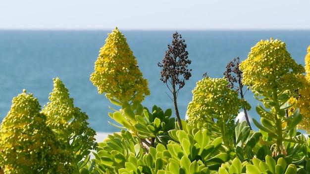 Aeonium arboreum houseleek drzewo żółty kwiat, kalifornia usa. soczysty kwiatostan róży irlandzkiej. ogrodnictwo domowe, amerykańska dekoracyjna ozdobna roślina doniczkowa, naturalna botaniczna atmosfera oceanicznej plaży