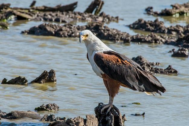 African fish eagle spoczywa na skale w rzece ornage