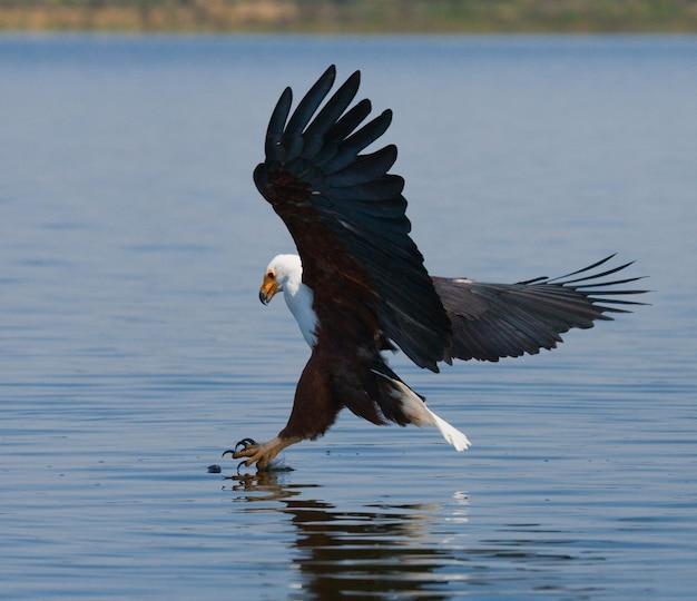African fish eagle w chwili ataku na zdobycz kenia tanzania safari east africa