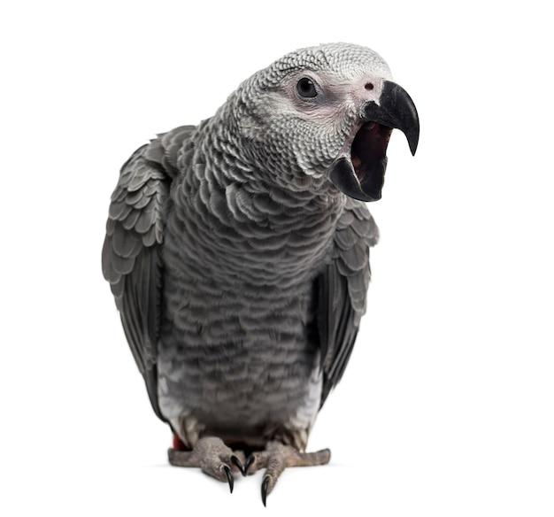 African grey parrot (3 miesiące) na białym tle