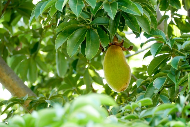 Afrykańska baobabowa owoc lub małpi chleb