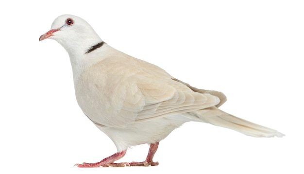 Afrykańska gołąbka kołnierzem na białym tle