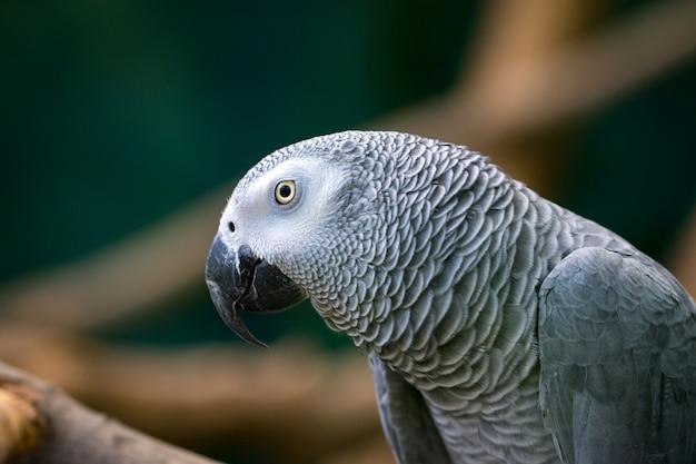 Afrykańska papuga szara siedzi w drewnianych gałęziach.