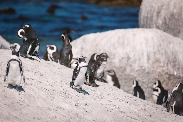 Afrykańska pingwin kolonia przy głaz plażą, południowa afryka