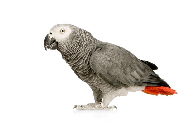 Afrykańska popielata papuga - psittacus erithacus z przodu na bielu odizolowywającym
