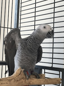 Afrykańska szara papuga