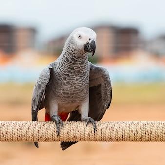 Afrykańska szara papuga.