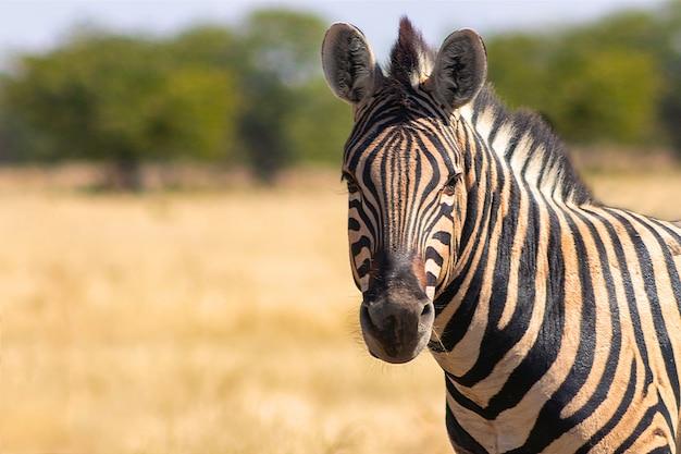 Afrykańska zebra górska stojąca na użytkach zielonych