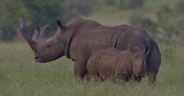 Afrykański czarny nosorożec