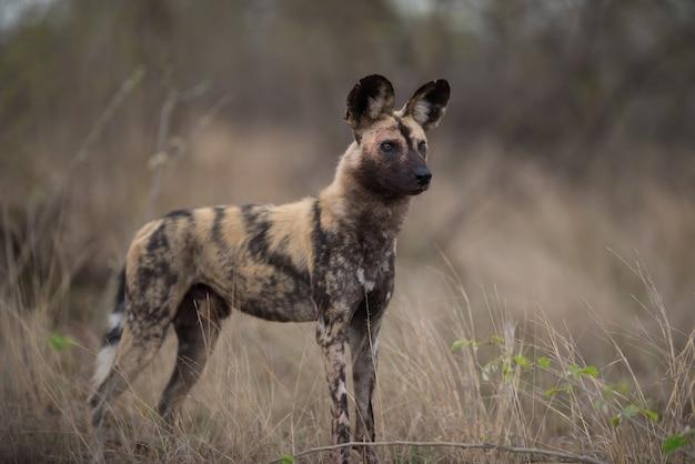 Afrykański dziki pies stojący na polu krzaków gotowy do polowania
