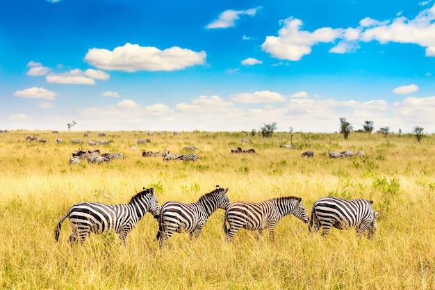 Afrykański krajobraz. zebra na afrykańskiej sawannie w parku narodowym masai mara. kenia, afryka.