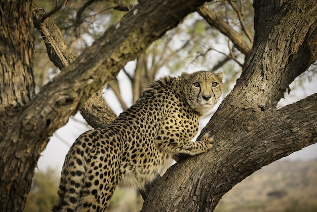 Afrykański lampart na drzewie w afryce południowej