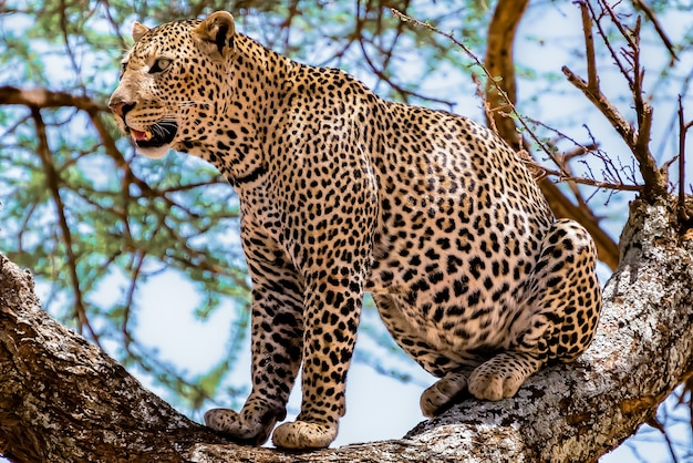 Afrykański lampart siedzi na drzewie, rozglądając się w dżungli